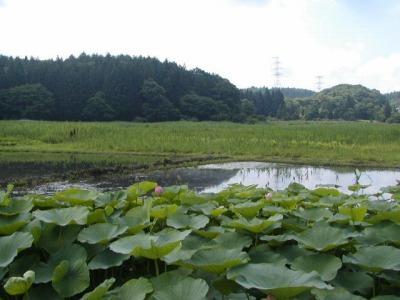 ハス池です