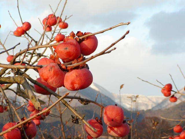 東根市フルーツラインの柿の画像