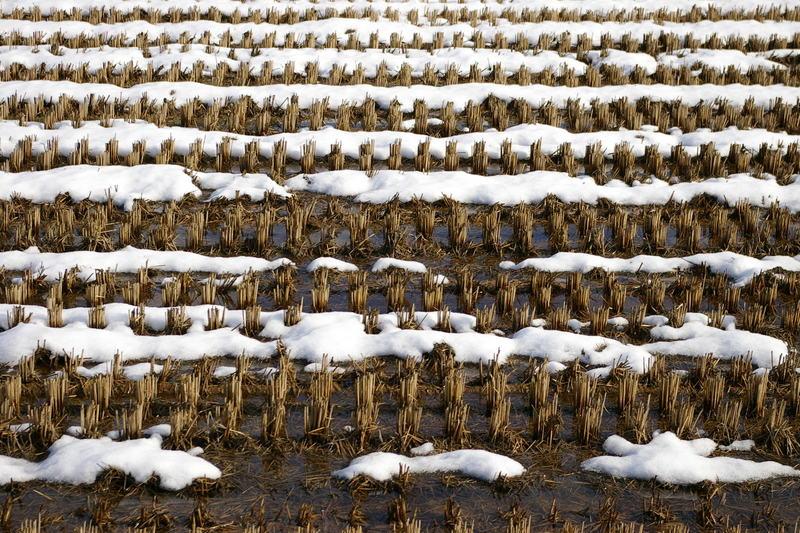田んぼに積雪。パーッと神様が雪をまき散らしたようです
