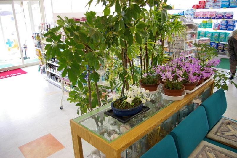 土屋薬局の店内に咲く朱鷺草