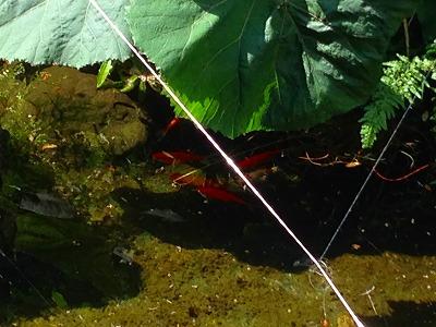 ヒマラヤユキノシタに隠れる池の金魚たち