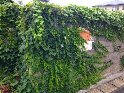 ブロック塀に烏瓜の緑色の葉