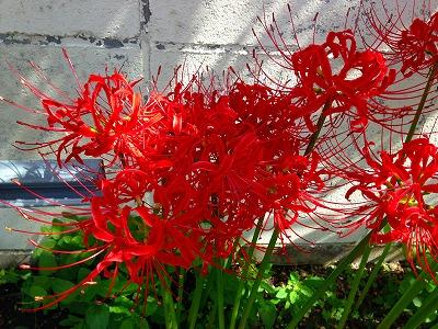 0我が家の敷地内で咲いている彼岸花です