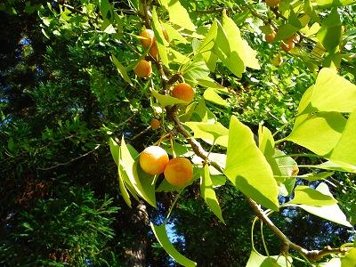 妻が銀杏の匂いがする!と言うので周囲を見ると、観音様の隣の木が銀杏の木でした。