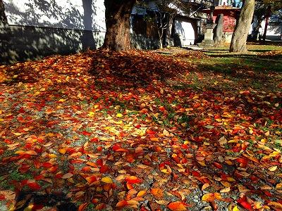 あたり一面は桜の木の落ち葉で埋め尽くされそうです。