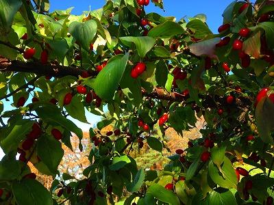 山茱萸の赤い実です