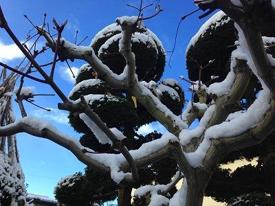 積雪のハウチワカエデと青空