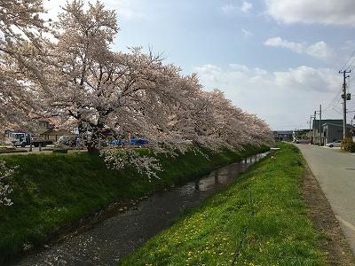 村山駅西口の桜風景