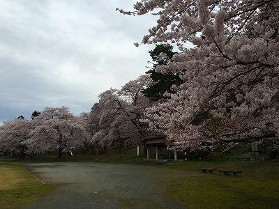 東根市若木山公園 桜盛り