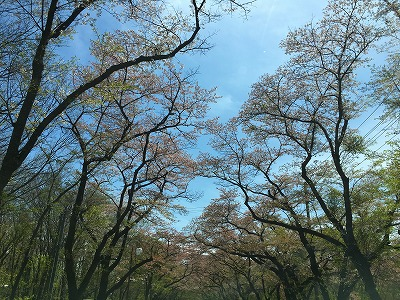 宮城県作並温泉の桜並木