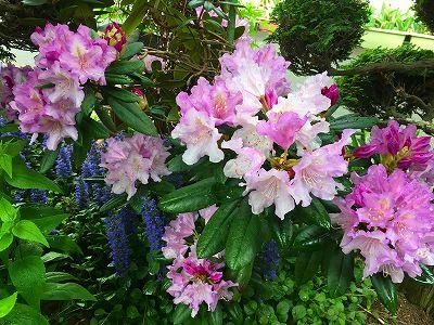 石楠花の花です