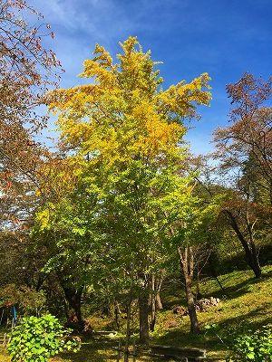 イチョウの木は紅葉です
