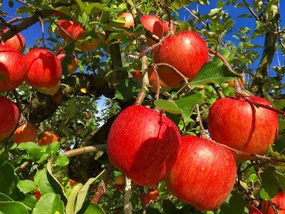 りんごも赤くなりました