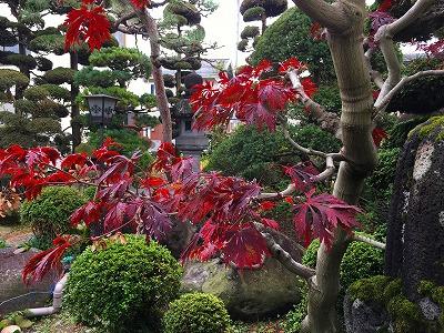 我家の庭 ハウチワカエデの紅葉