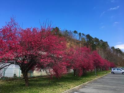 今年も紅梅がきれいに咲いています。