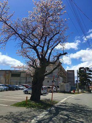 神町小学校の桜
