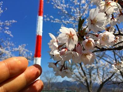 若木山山頂の桜