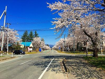 駐屯地前の桜