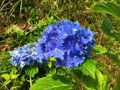 猿羽根山の紫陽花