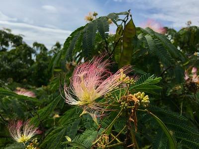 ネムノキの花