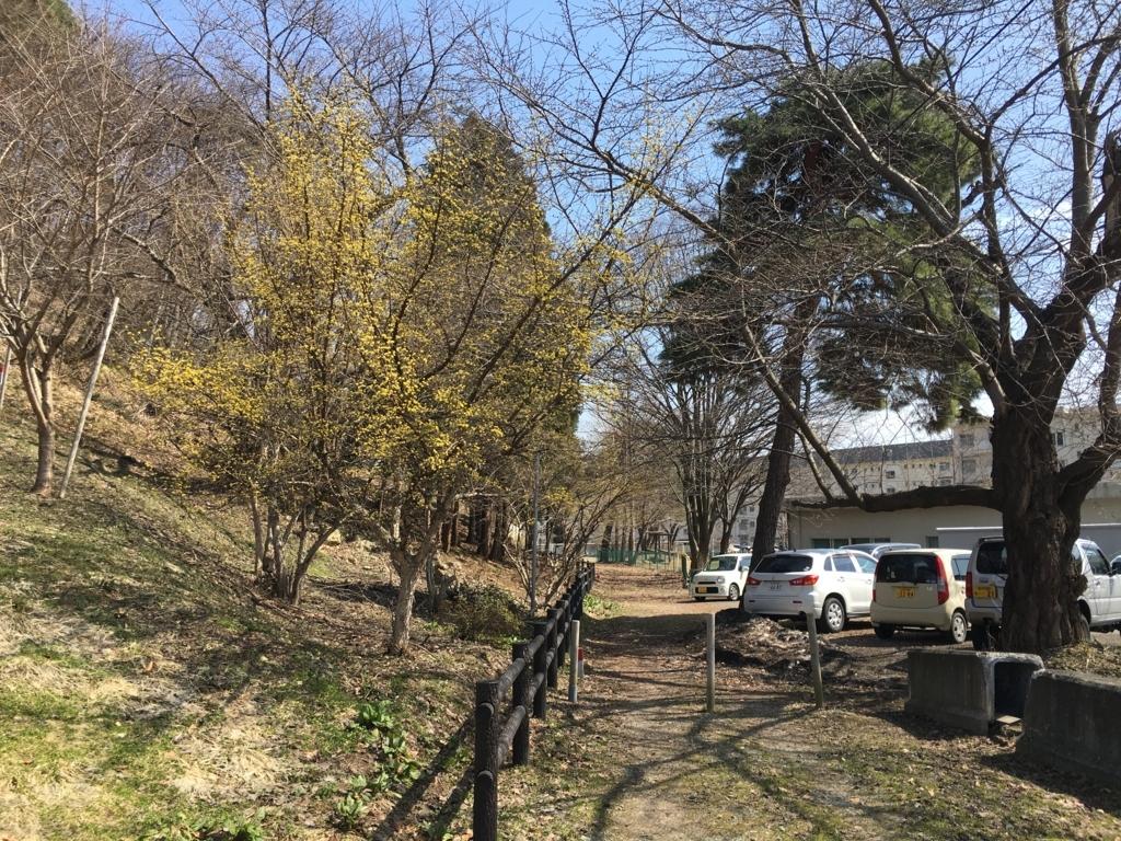 若木山 山茱萸咲きました!