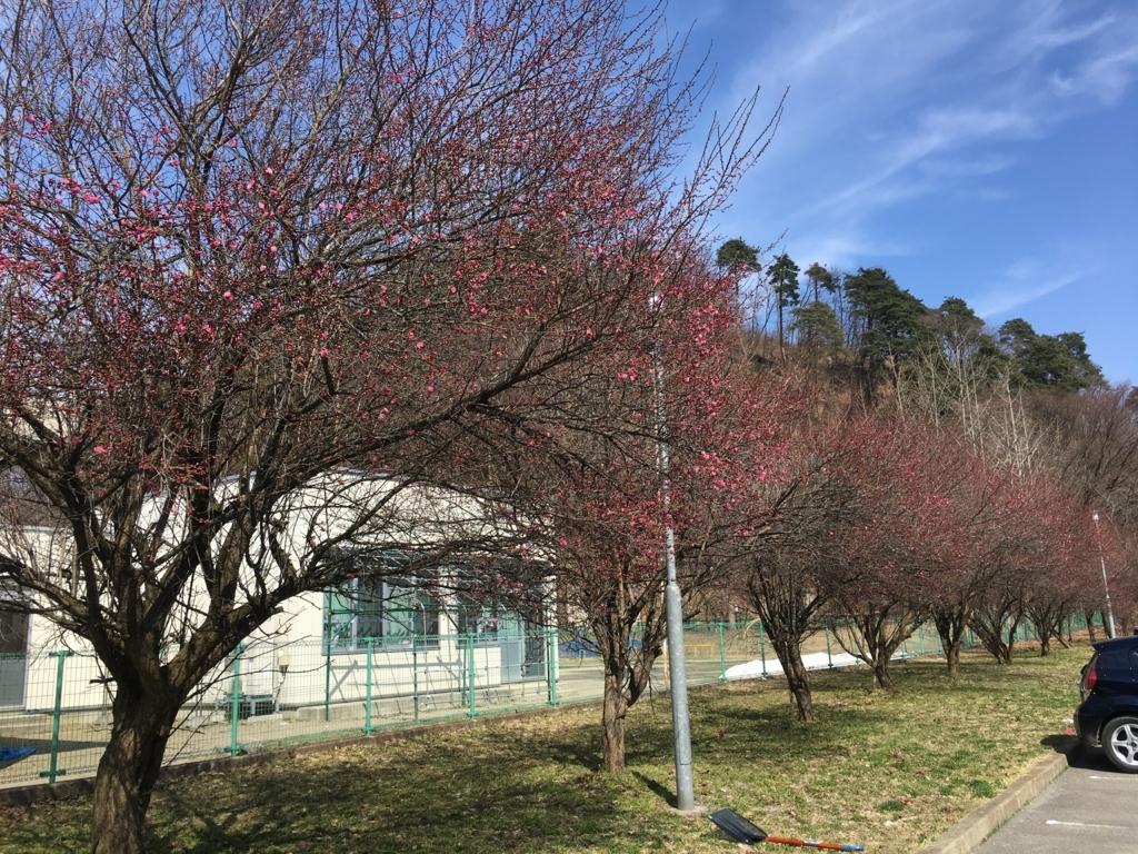 官舎前の梅の木です