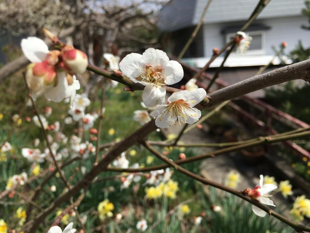 白梅が綺麗ですね。