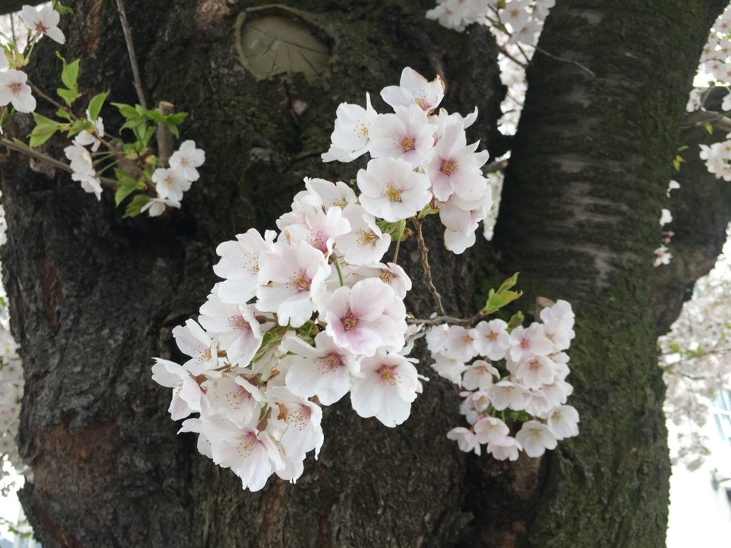 山形市内桜が満開でし
