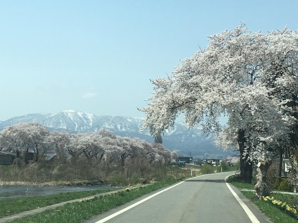 東根市白水川堤防の桜満開です