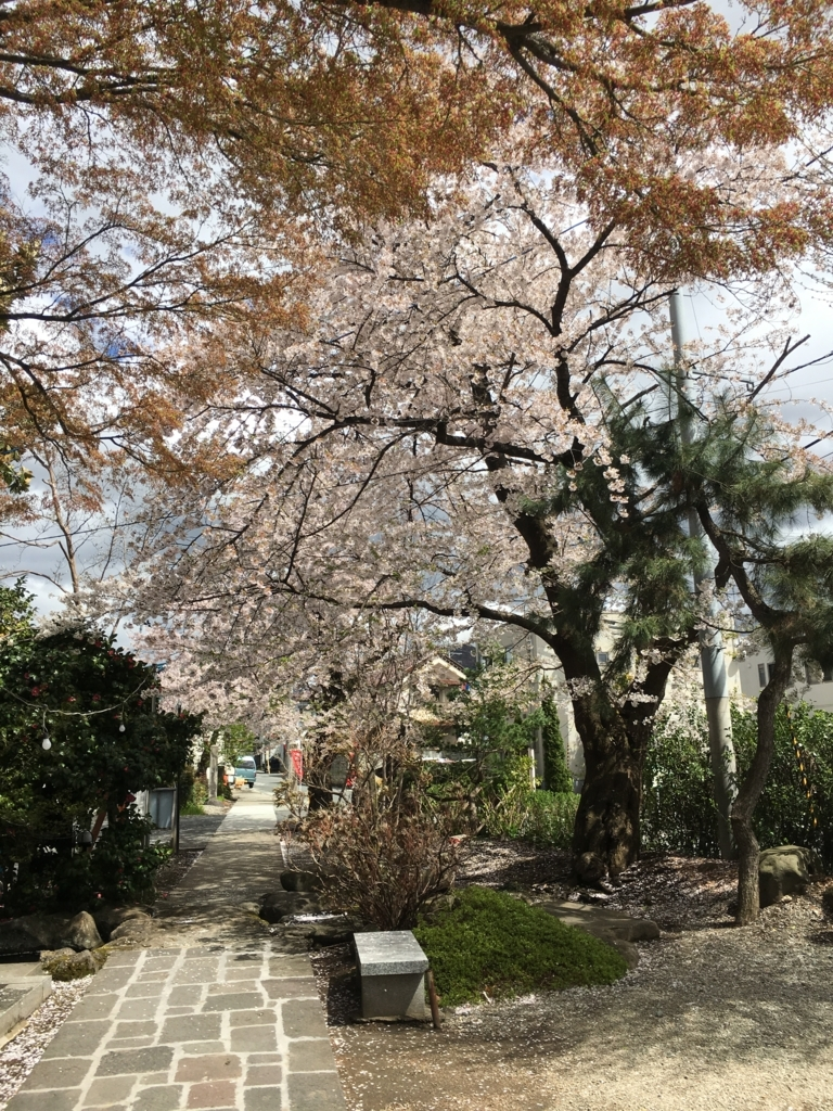 最上三十三観音八番札所の桜満開です。