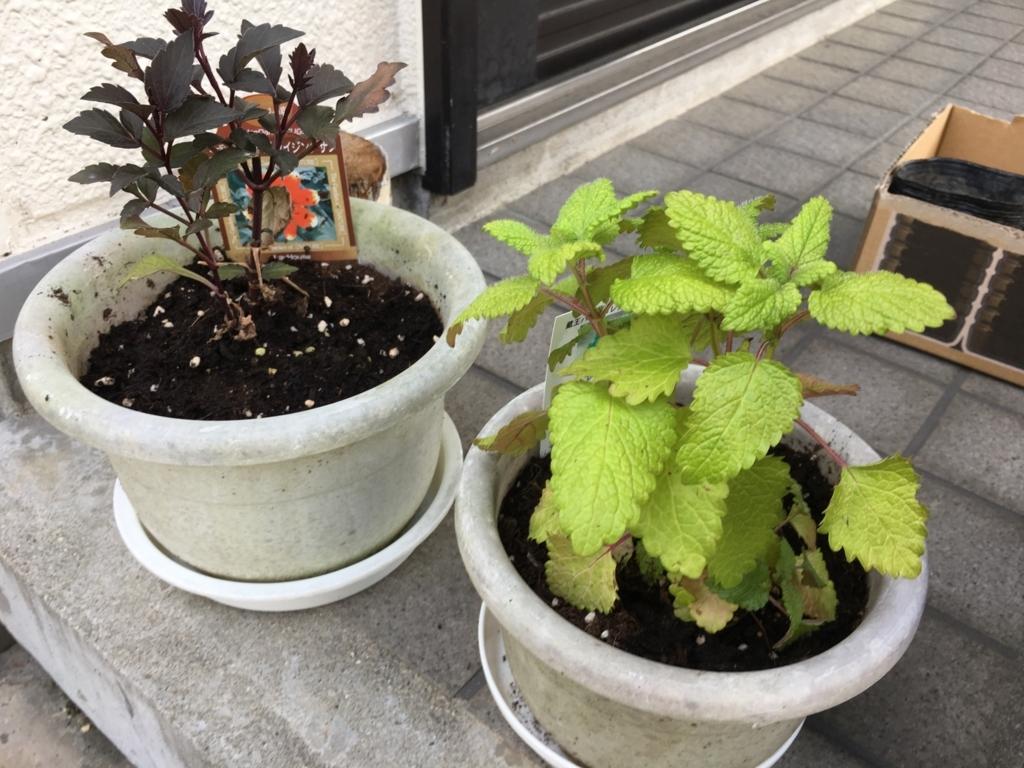 左がフーガライジングサン。右がレモンバームです