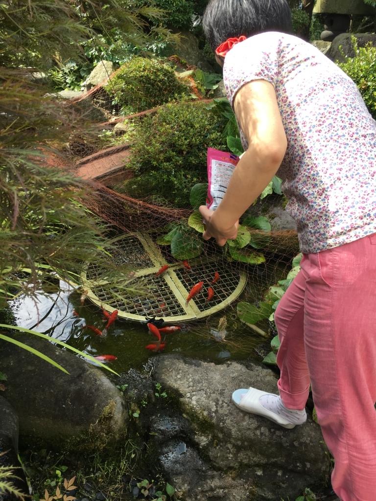 妻が金魚に餌をまきます