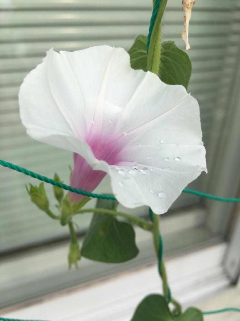 母屋側の朝顔、咲いています
