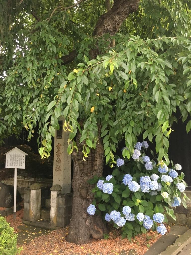 古峯神社の朝顔