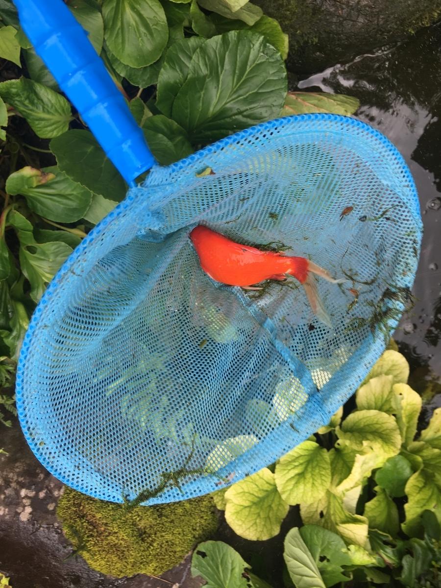 金魚をすくう、水を抜くの地味な作業の連続です