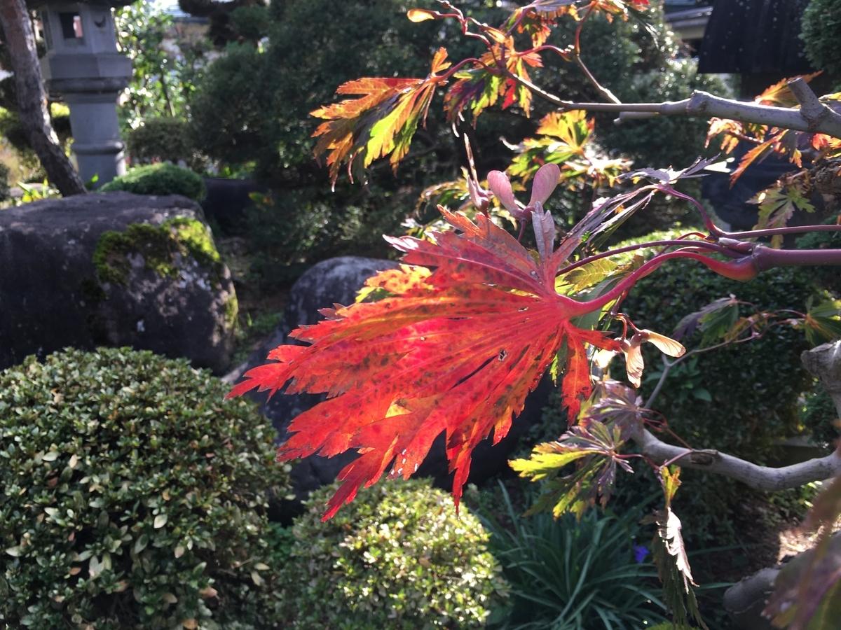 ハウチワカエデの紅葉