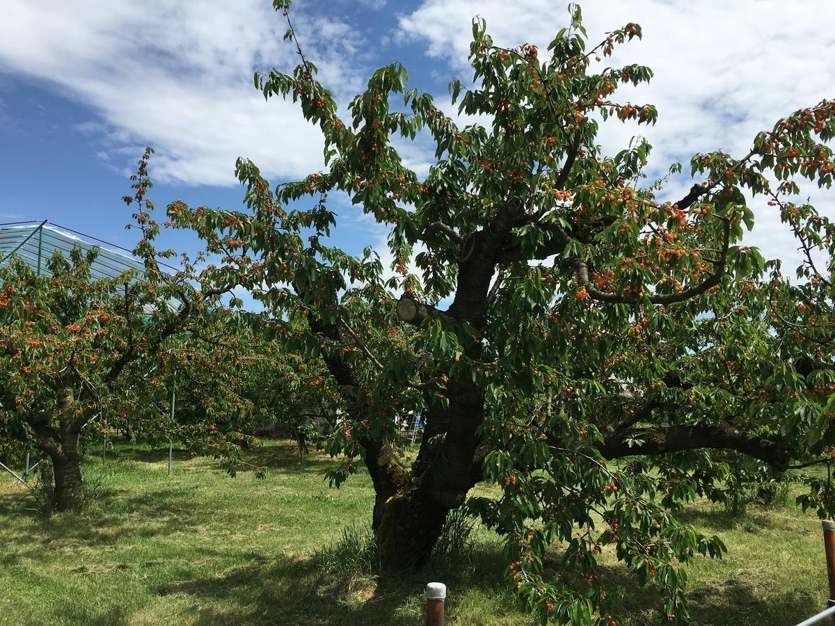 さくらんぼの木です。