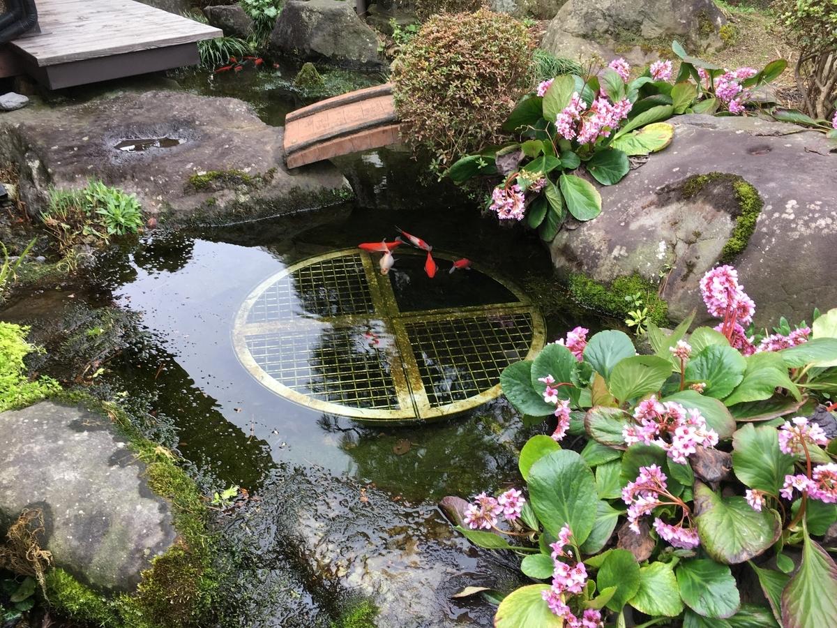 我が家の池、ヒマラヤユキノシタが綺麗です。