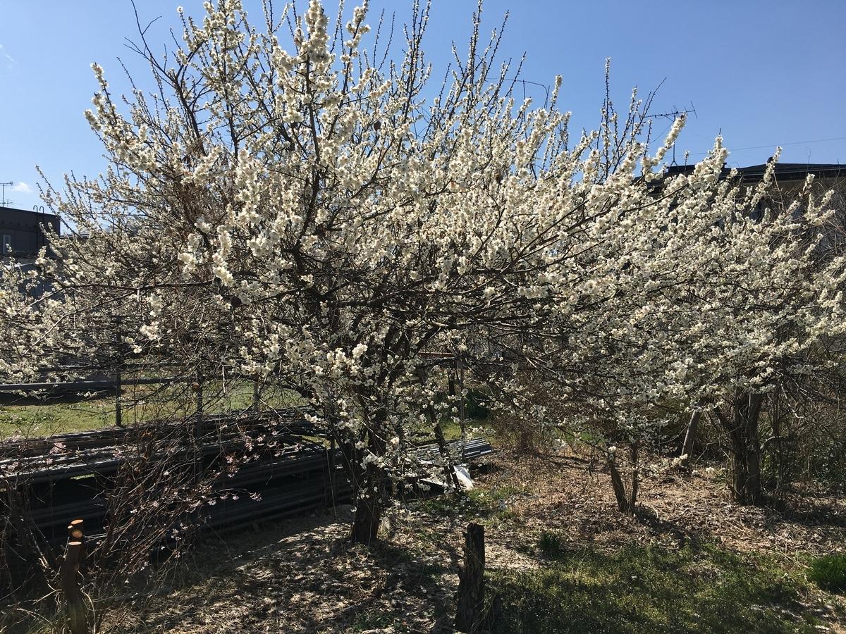 梅の花が綺麗な東根市神町です。