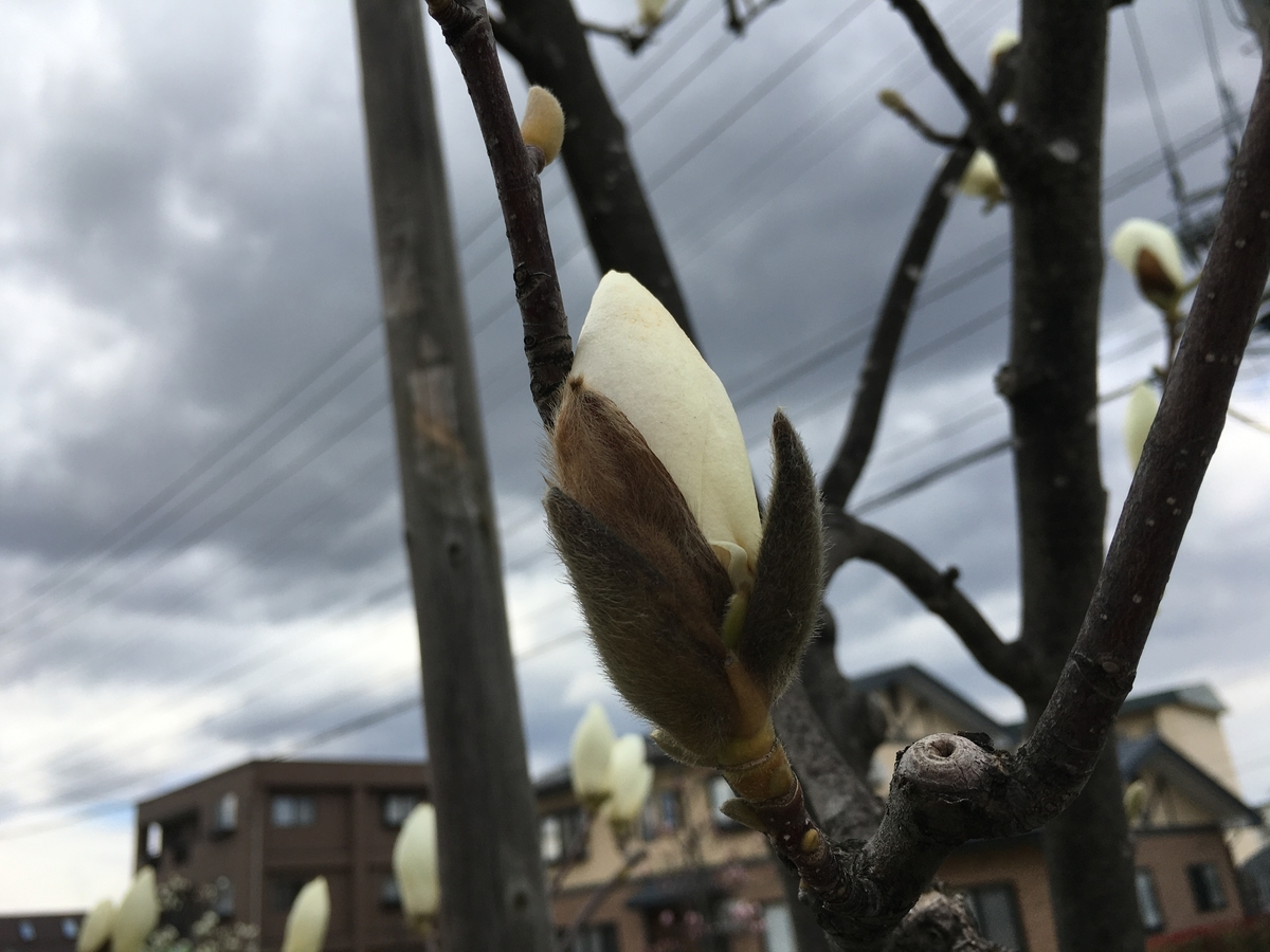 白木蓮の画像です。