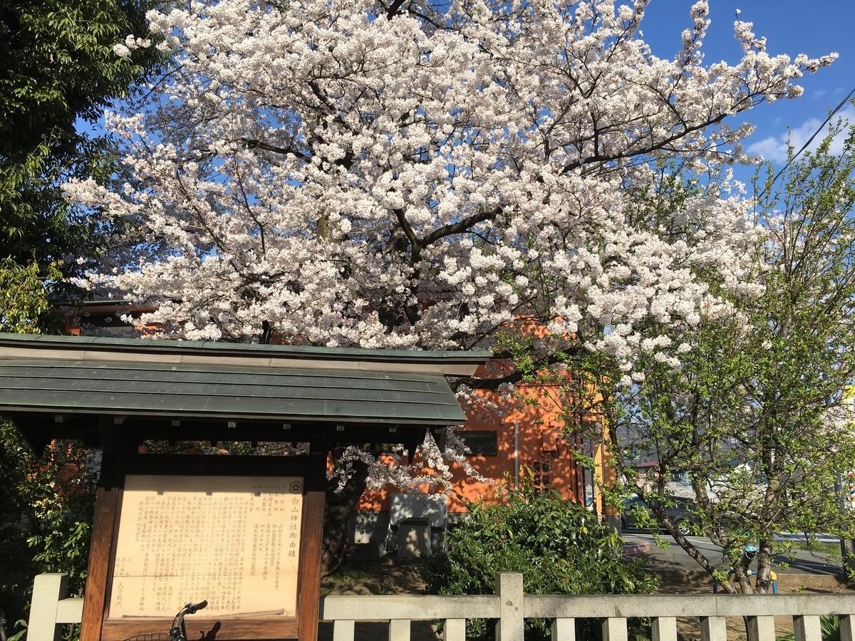 白山神社の満開の桜