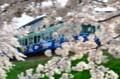 京都新聞写真コンテスト  桜花の候