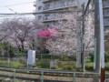 荒川線沿いの桜3