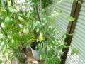 挿し木したミニトマト