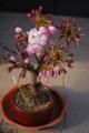 [桜]我が家の桜。2009年3月30日現在。