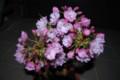 [桜]4月1日現在の我が家の桜。