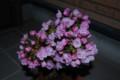 [桜]4月4日現在の我が家の桜。