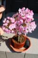 [桜]4月6日現在の我が家の桜。満開!