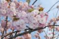 [桜]八重桜。