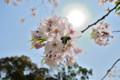 [桜]桜と太陽。